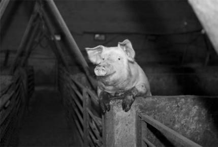 Cerdo sobre una valla