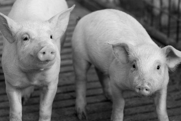 ganaderia cerdo